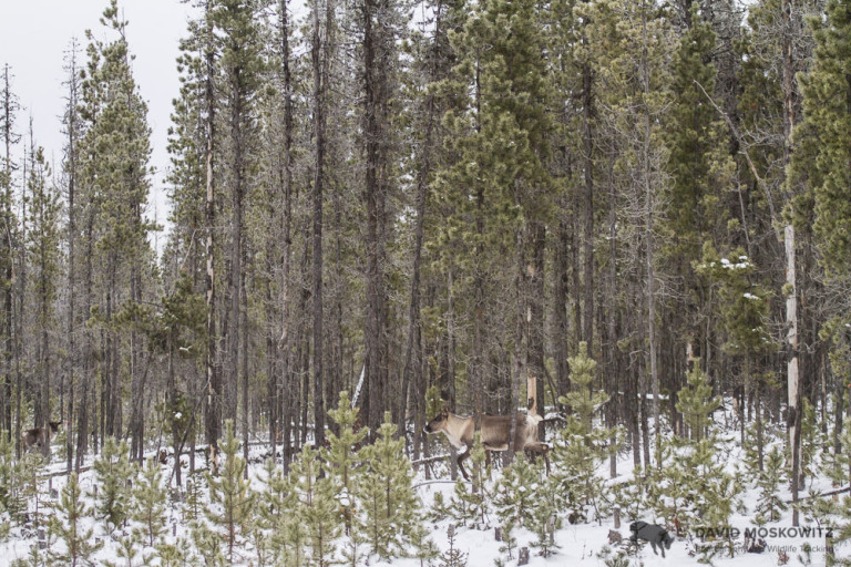 Several members of the Kennedy Siding herd in the thick pine forest characteristic of their late fall-early winter habitat.