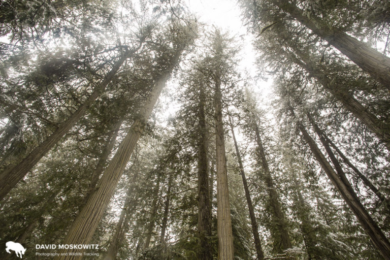 Looking up through the canopy of old growth western red cedar forest. Though cutting of old growth in this area is still common, this particular stand, within the forest tenure of the Revelstoke Community Forest Cooperation, has been set aside and will not be cut.