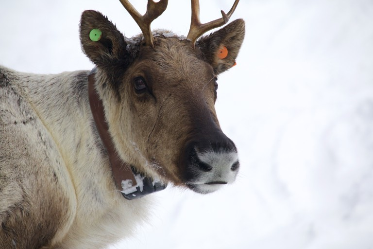 A cow caribou just awoken from the process and gaining her bearings in the pen. Photo by Marcus Reynerson.