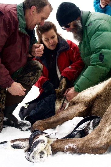 Biologists Brian Pate, Line Giguere, and Doug Herd intake a pregnant cow caribou. Photo by Marcus Reynerson.
