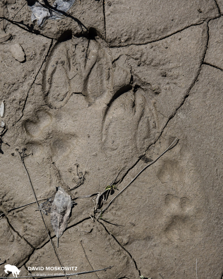 Another story in footprints. The tracks of a moose, a wolf, and a mountain lion. Moose populations, driven by logging, drive predator populations which in turn affect endangered caribou, leaving a tangled web of ecological relationships tricker to pick apart than these maze of footprints the animals themselves leave behind.