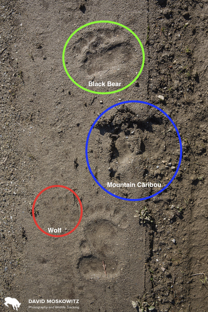 A story in footprints: Tracks found on the access road coming out of the above cut-block. The footprint of a mountain caribou is joined by the trail of a large black bear and the faint prints of a grey wolf. Wolves are effective predators of adult caribou, while black bears and grizzlies can take a massive toll on calves–the reason for the penning project going on in the nearby mountains.