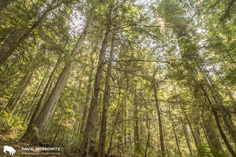 A rare stand of middle elevation old growth cedar-hemlock forest in the Southern Selkirks. This forest is protected within the Nature Conservancy of Canada's Dark Woods Preserve, set up specifically to protect mountain caribou habitat.