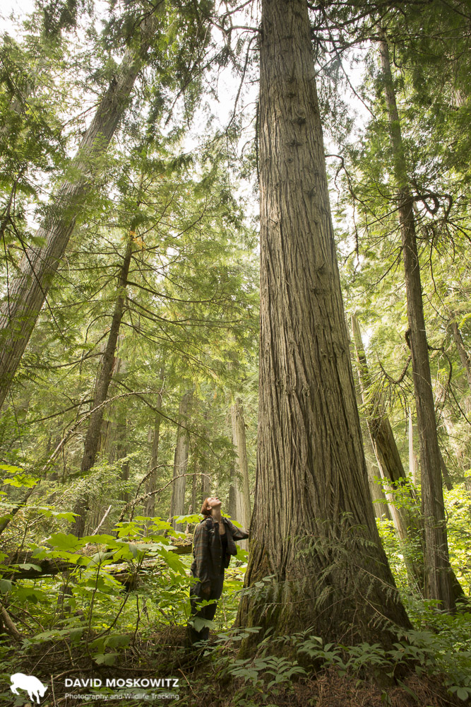 Kim Shelton stares up at a huge western red cedar tree. The magesty of the inland temperate rainforest is something that is striking in its own right, beyond the immessurable biological value of these forests. Fenger Memorial Grove, Trout Lake, British Columbia.