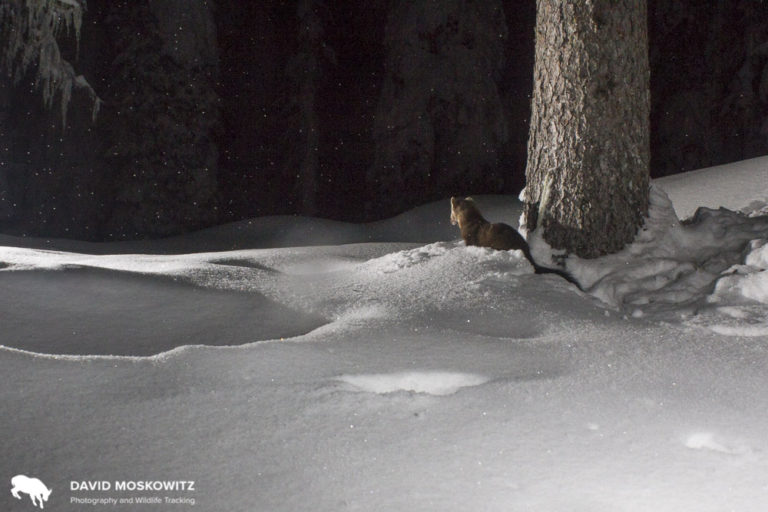 An American marten takes in a snowy night at the same camera trap as the snowshoe hare above.
