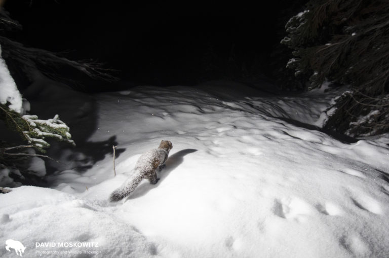 An American marten visiting one of our camera installations on a snowy December night.