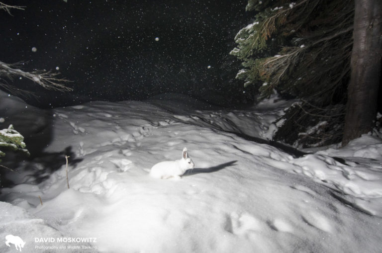 A snowshoe hare at the same site.
