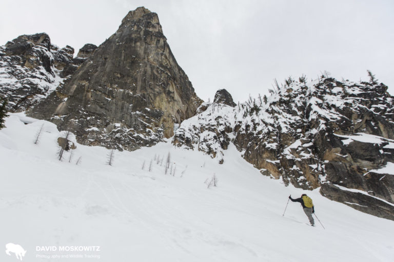 Drew Lovell breaking trail as we inspect some high quality wolverine habitat below Liberty Bell Peak in the North Cascades.