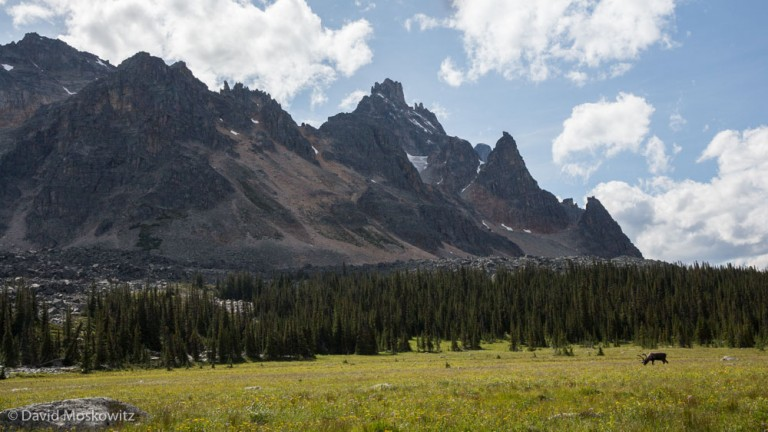 The Tonquin Valley, accessible only by trail, and completely contained within Jasper National Park, is home to the largest remaining concentration of caribou in the park but even here caribou numbers are declining rapidly.