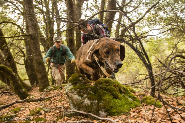 Hounds are used to track the cat which typically climb a tree to evade the dogs. Researchers can anesthetize the mountain lion, give it a physical exam and secure a radio collar to the cat. Here roundsman Dan Tichenor  has just released one of his hounds on the fresh trail of a mountain lion.