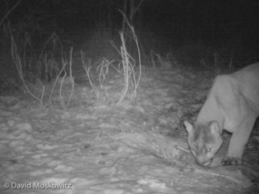 An adult mountain lion sniffs at the buried remains of a deer which had been cached about a week before by either himself or possibly another lion that uses this area. After inspecting the area briefly, this lion moved on without retrieving anything of the buried carcass.