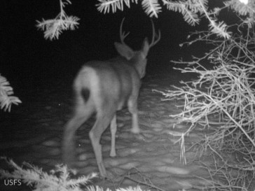 A mule deer buck captured on a Forest Service camera set by Ray Robertson and I in a location we had found tracks of wolves.