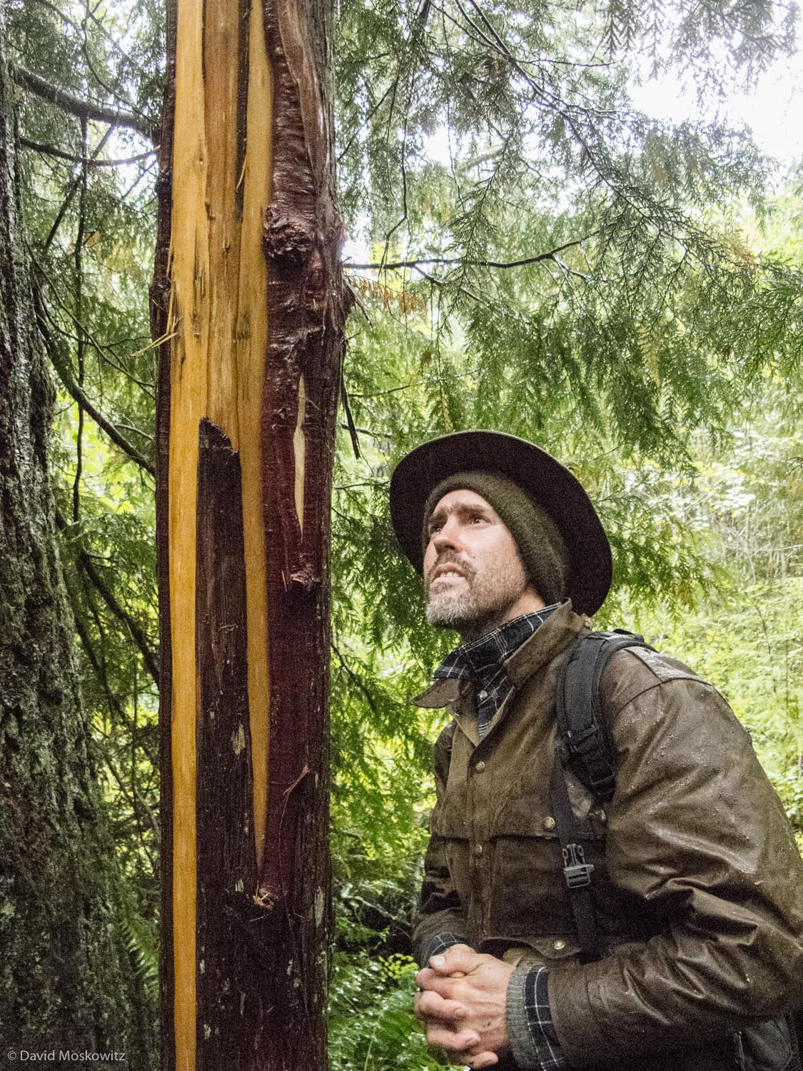 Garth Oldman inspects the work of a black bear who bit and ripped the bark off of this western red cedar tree. Such activity is typical scent marking behavior of bears. Oregon Coast Range.