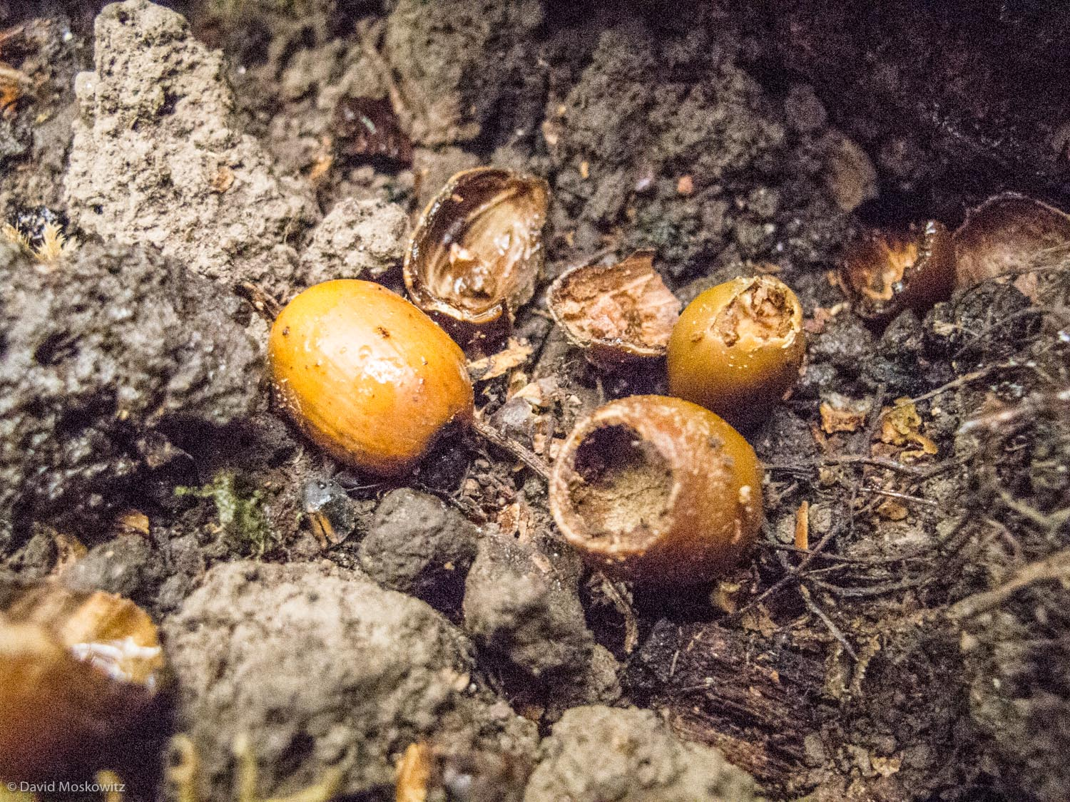 The distinctive circular opening and fine toothmarks of a deer mouse feeding on Oregon white oak (Quercus garryana) acorns. Found in a space under a fallen log along the Columbia River, downstream from Portland Oregon.