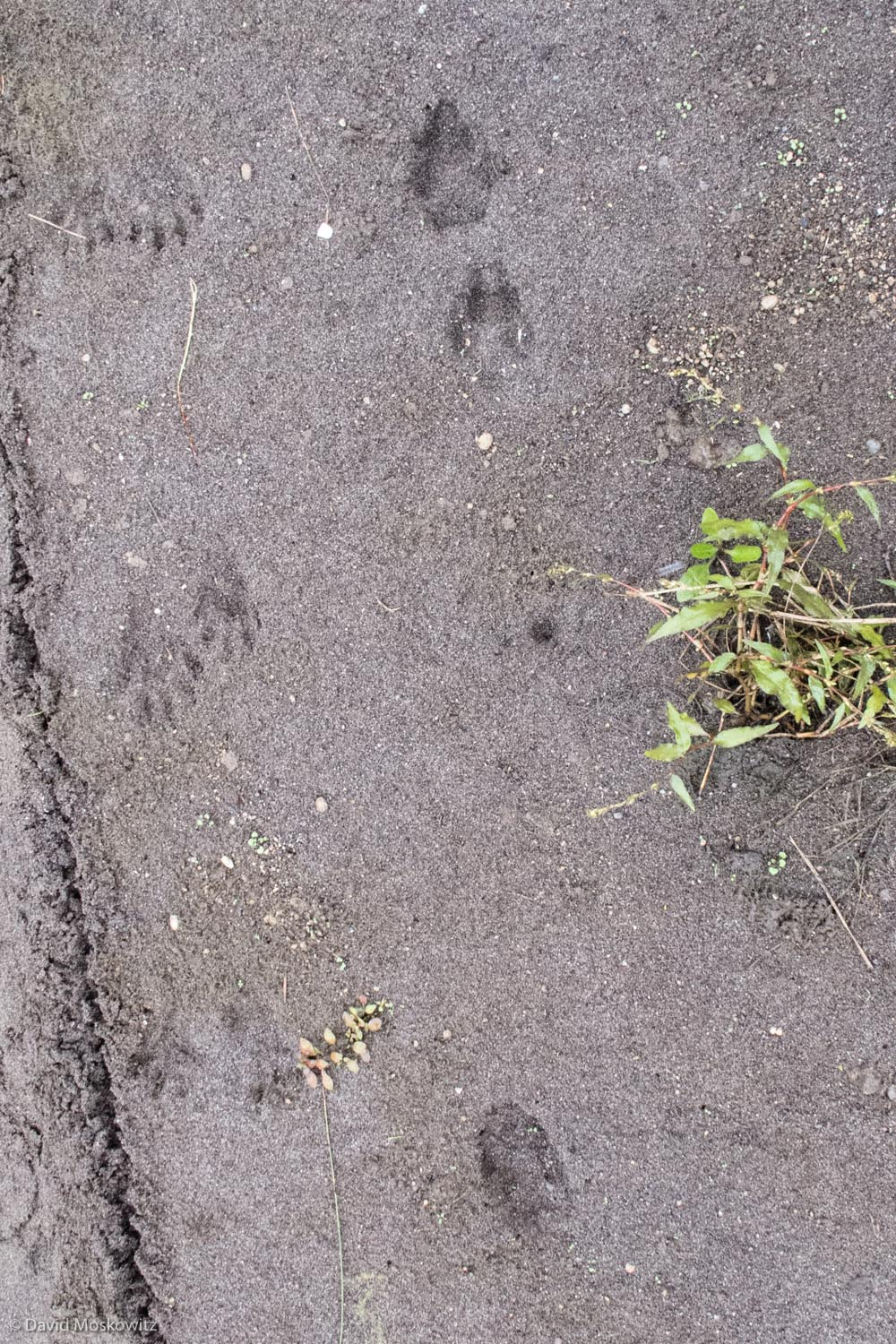 The unusual track pattern of a coyote missing one of its front feet. Note the circular imprint of the leg without the foot just to the left of a plant. The tracks of a raccoon can be found to the left of the coyote.