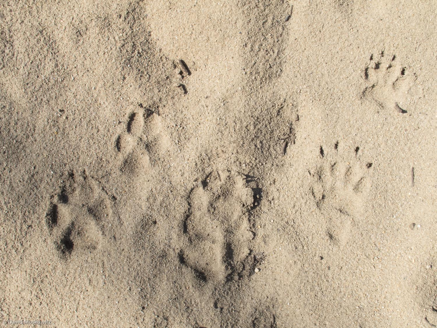 Tracks of two young wolves (Canis lupus, left and middle) and a large European badger (Meles meles) in sand. Saxony, Germany.