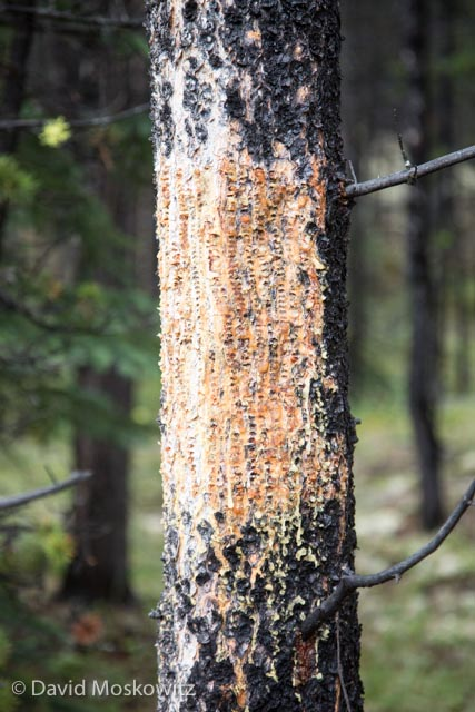 This distinctive pattern on a lodgepole pine is the work of a red-napped sapsucker which drills into the bark to get the tree to exude sap. This sap attracts insects which the sapsucker returns to feed on. Jasper National Park, Alberta.