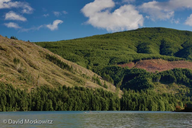 While the mountain itself is a protected National Monument, outside of its boundaries the timber industry is very active in the southern Washington Cascades. Here huge clearcuts cover entire hillsides above the Swift Reservoir on the Lewis River. The swath of trees along the water's edge is a mandated setback from fish bearing waters required by Washington State environmental regulations.