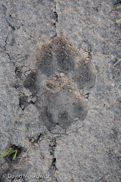 The left hind track of the mountain lion discovered on the road.