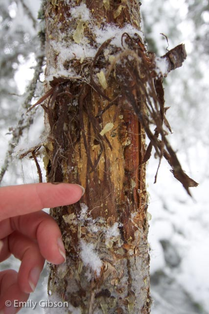 The shredded bark has all been peeled upwards due to the fact that elk only have lower incisors. Numerous hairs from the elk got stuck in the ragged bark and sticky pitch of the tree.