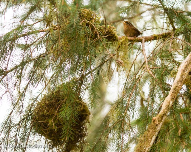 A Pacific wren singing from a branch above its large spherical nest in a Sitka Spruce. Hoh river valley, Olympic National Park
