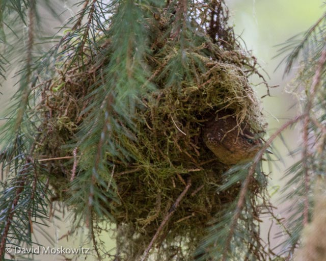 A Pacific wren peers out from the entrance at the side of its nest. Olympic National Park.