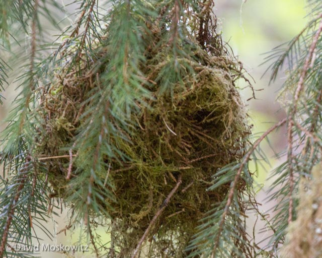 Note the slender conifer twigs around the entrance to the nest.