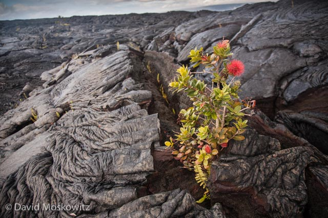 A young ʻōhiʻa lehua (Metrosideros polymorpha) tree has sprouted up and flowered in a crack from a lava flow which is just a few years old.
