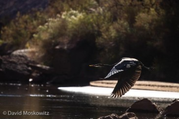 A great blue heron takes flight along the Colorado River. Grand Canyon, Arizona.