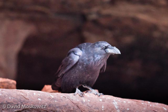A common raven looks out from a perch on a sandstone ledge. Grand Canyon, Arizona.