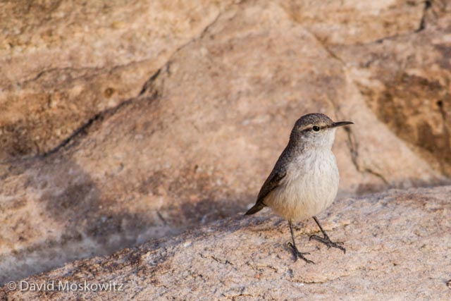 Rock wren. Grand Canyon, Arizona.