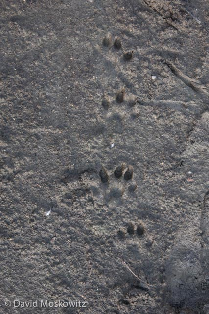 European river otter (Lutra lutra) tracks.