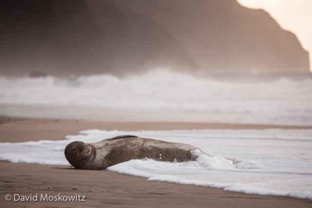 An endangered Hawaiian monk seal hauled out of the ocean for an afternoon. Kalalau Beach, Kauai.