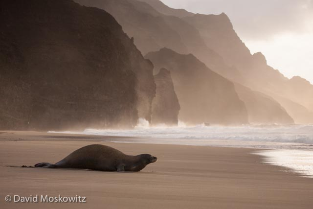 Hawaiian monk seal returning to the ocean as the sun begins to set.