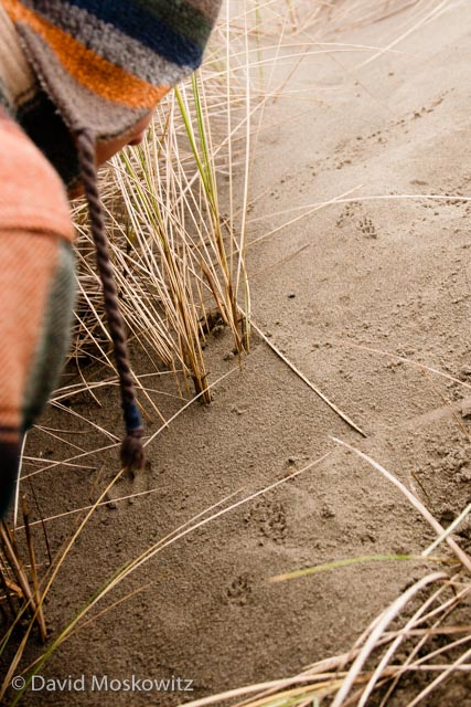 Inspecting the tracks of a bounding long-tailed weasel (Mustela frenata) in the coastal dunes close to Arcata California.