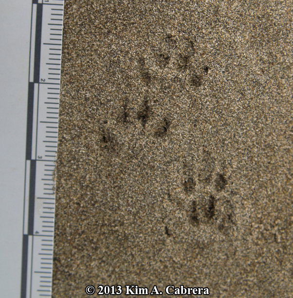 Long-tailed weasel tracks. Photo by Kim Cabrera. Kim has an amazing collection of track and sign photos posted online at her website: bear-tracker.com. Click on the image to check it out!