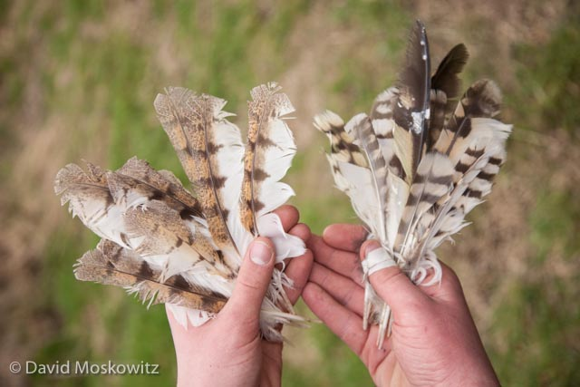 Feathers from a barn owl (left) and short-eared owl, both found on the edge of a large field filled with vole sign where each owl had likely been hunting when they were killed. The short-eared owl remains where found scattered in the brush bellow some trees in a location where a larger bird, such as a great-horned owl or bald eagle might perch to consume a meal. The barn owl feathers where found below another tree on the ground and was also likely consumed by a raptor.