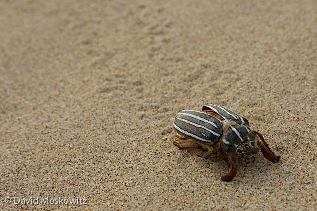 10-lined June Beetle?, Umpqua Dunes, Oregon Coast