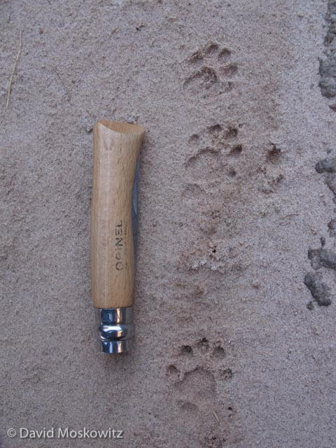 Two front and a single hind foot of a ringtail. The pocket knife is 4 inches long