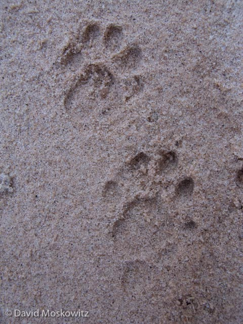 Left front (below) and hind tracks of a ringtail. Grand Canyon, Arizona.