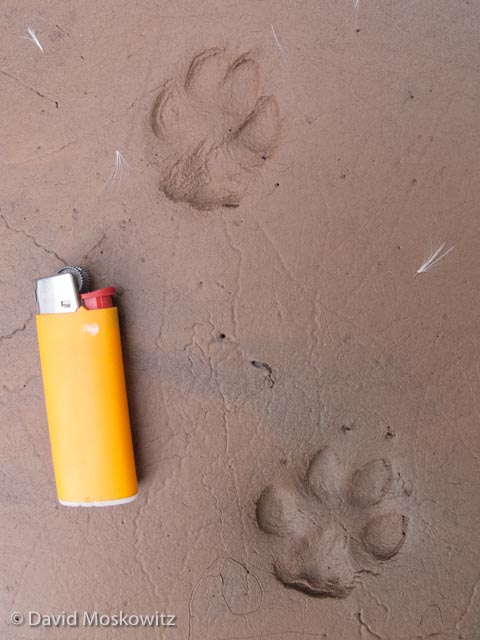 Front (below) and hind tracks of a grey fox. Fox tracks were common along the river throughout the canyon. This small lighter is a little less that 2.5 inches long. Fox tracks are typically slightly less than 2 inches in length. Grand Canyon, Arizona.