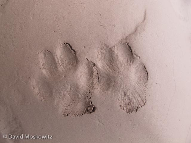 Right front (on the left) and hind tracks of a grey fox. Grand Canyon, Arizona.