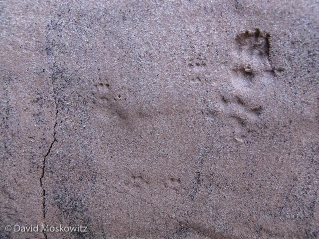The bounding pattern of a deer mouse can be seen faintly next to the much larger tracks of a woodrat to the right. Grand Canyon, Arizona.