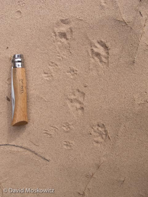 The bounding track pattern of a spotted skunk. The smaller tracks are from deer mice.