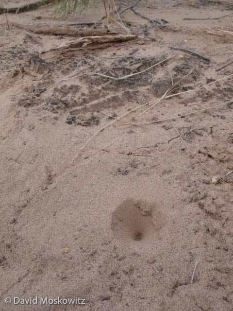 Keep your eyes peeled for conical depressions in loose sand. These are traps built by ant lions, a type of insect larvae. The ant lion waits burried beneath the sand at the bottom for an ant or other small insect to slip in to the hole at which point it grabs its prey.