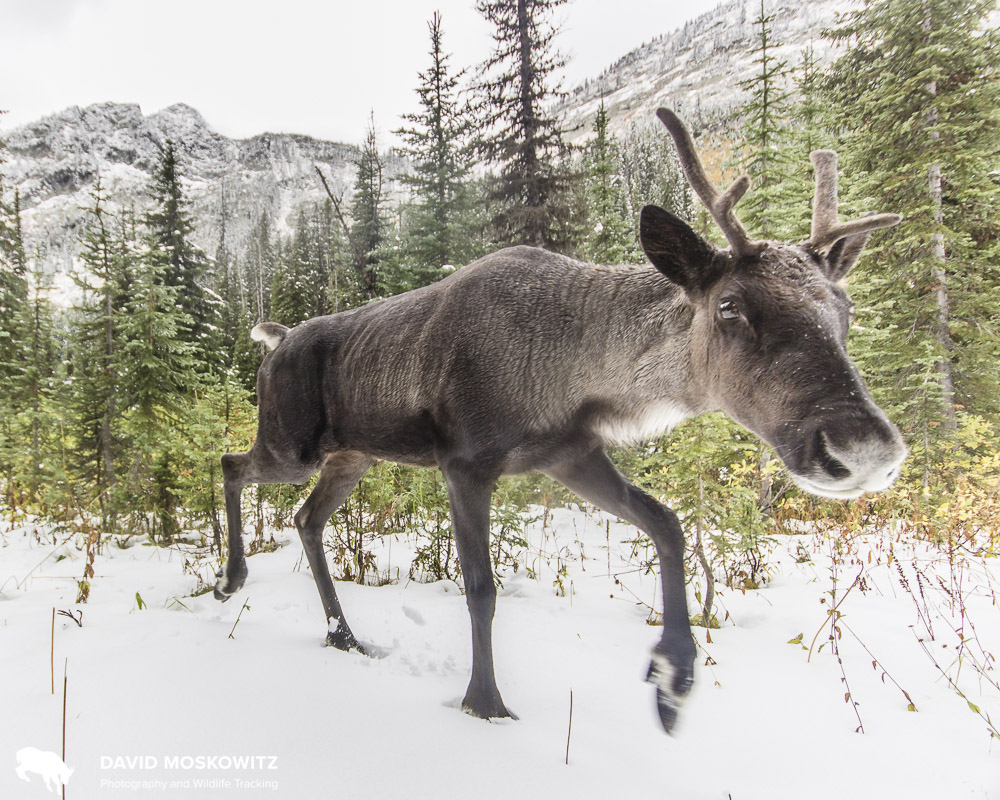 One of the last members of the Southern Selkirks Mountain Caribou herd, photographed in the fall of 2017.
