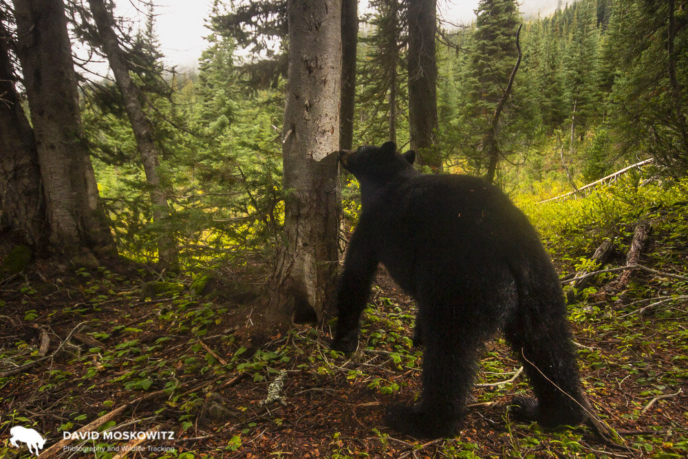 A black bear smells a marking tree to learn about other bears that have visited the tree.