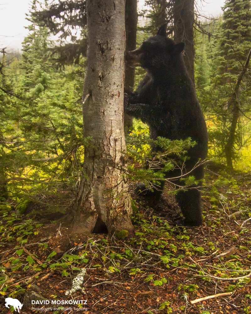 When bears mark trees they focus on two heights on tree, about bum height (for the bears) and should height for a standing bear. Here you can see the same bear inspecting the scent left behind by a previous bear.