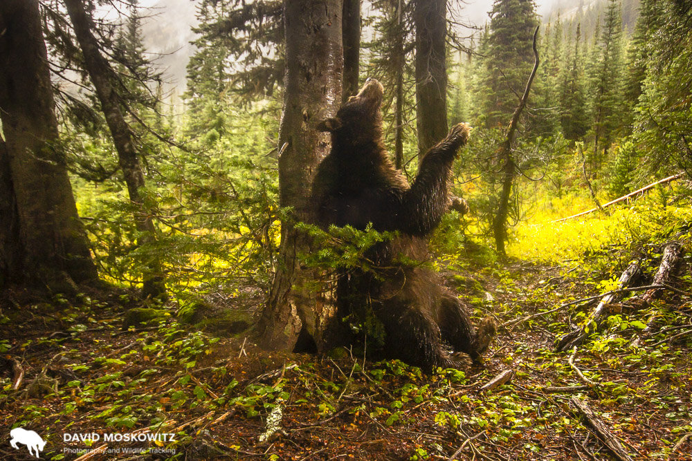 The same brown colored black bear rubbing its shoulders and back on the tree.