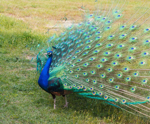 Peacock_Mating_Dance_Fanned_tail.jpg